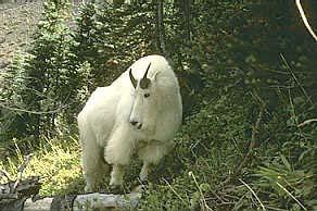 Mountain Goat Arabic esl